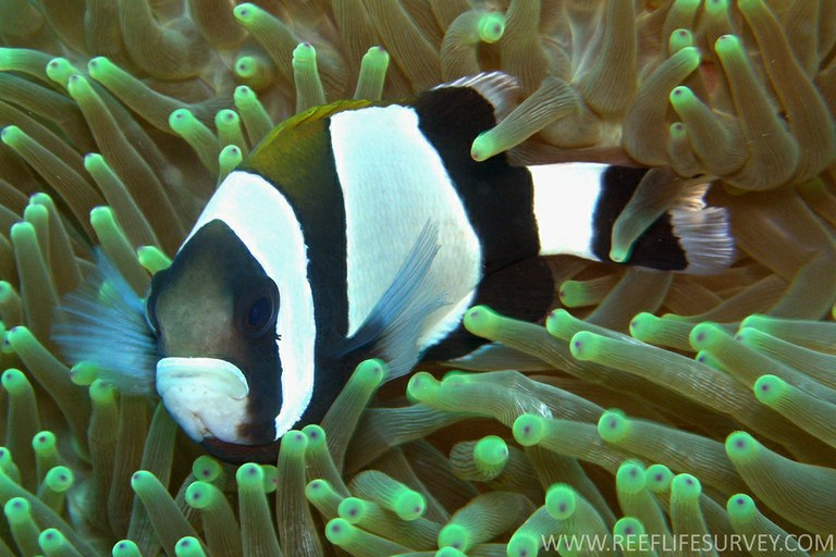 Some clownfish lack personalities