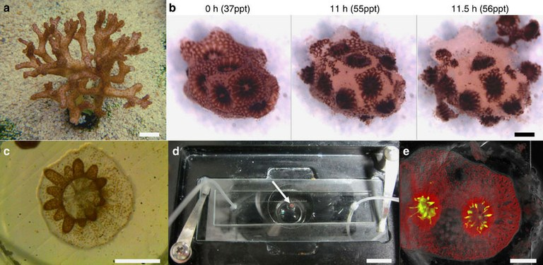Technique developed to grow corals directly on microscope slides