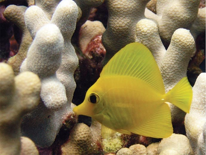 The feel-good story of Yellow Tangs in the wild
