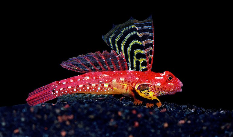 The Ruby Red Dragonet has a name