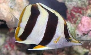 Video of Prognathodes basabei Butterflyfish