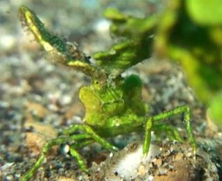 We present to you: The Halimeda Crab
