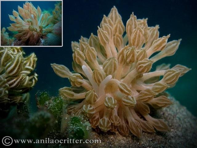 Xenia-mimicing nudibranchs