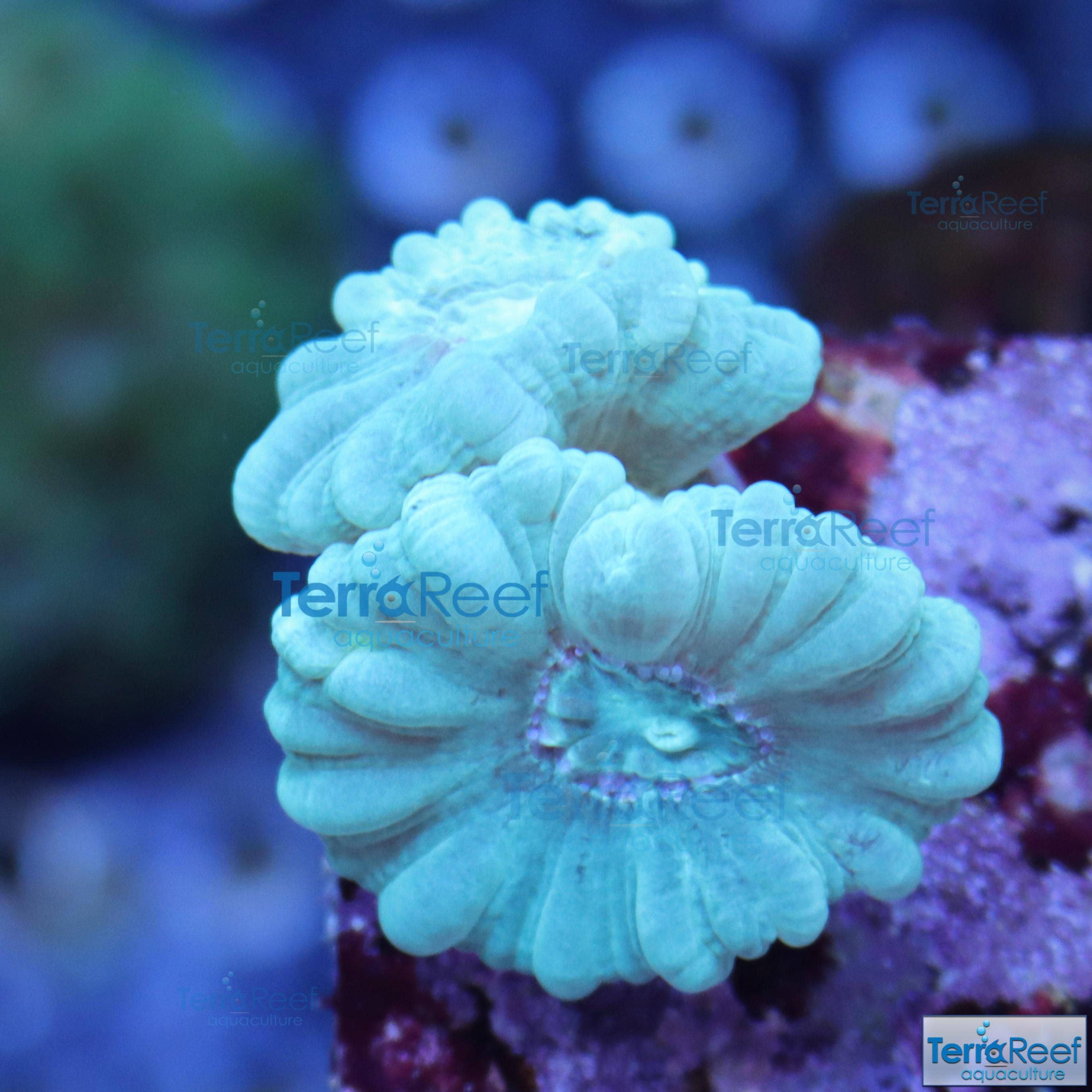 IMG_1892-Green-Candy-Cane-Coral.jpg