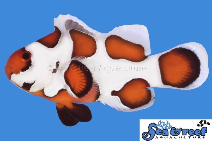 s&r_orange_storm_clownfish.jpg
