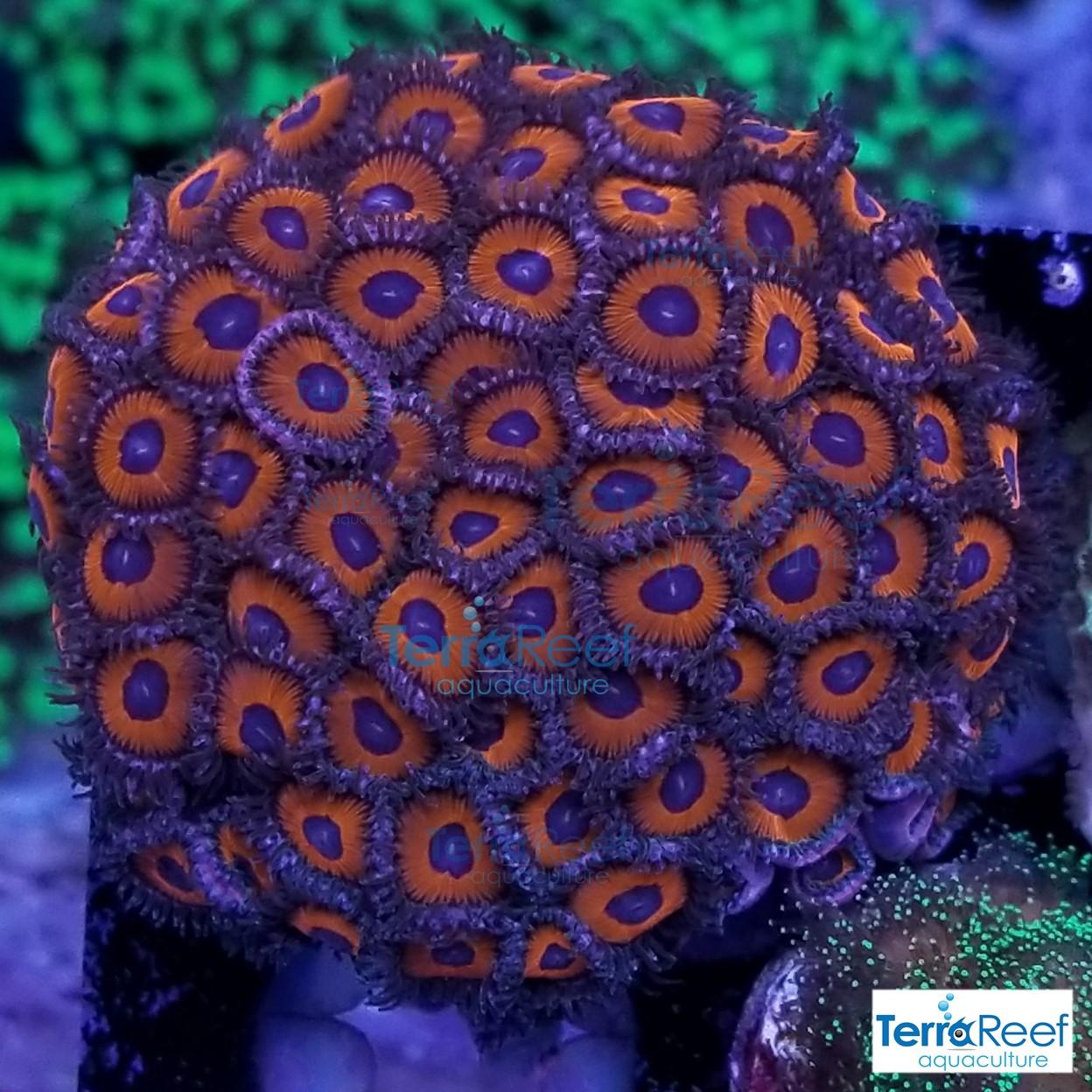 Red-Zoanthids-Coral-Polyps-WYSIWYG-Frag-2-20201228_211744.jpg