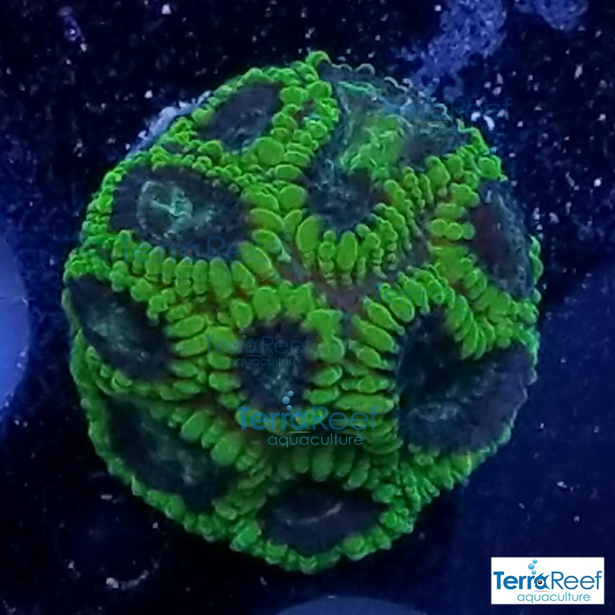 Green-Favia-Brain-Coral-WYSIWYG-Frag-4-20210116_205507.jpg