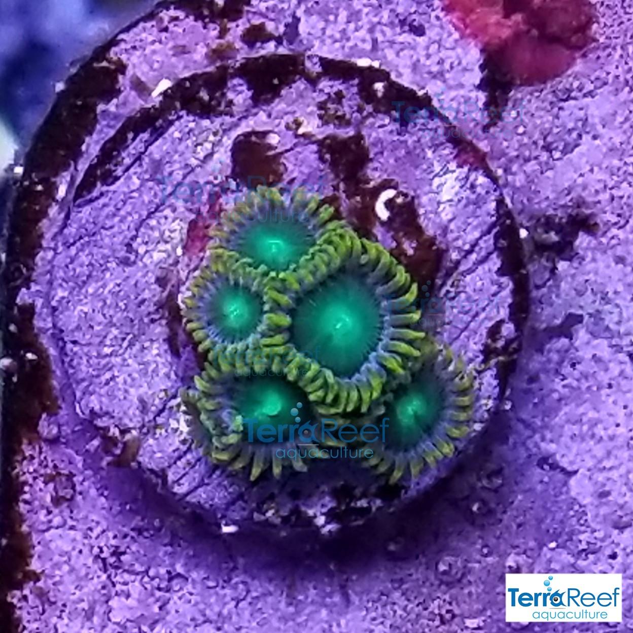 Radioactive-dragon-eyes-Zoanthids-WYSIWYG-Frag-1-20210113_005741.jpg