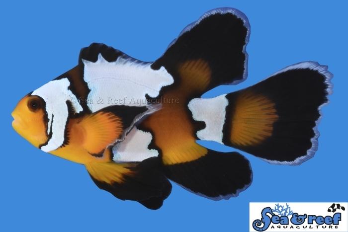 s&r_longfin_-black_ice_clownfish.jpg