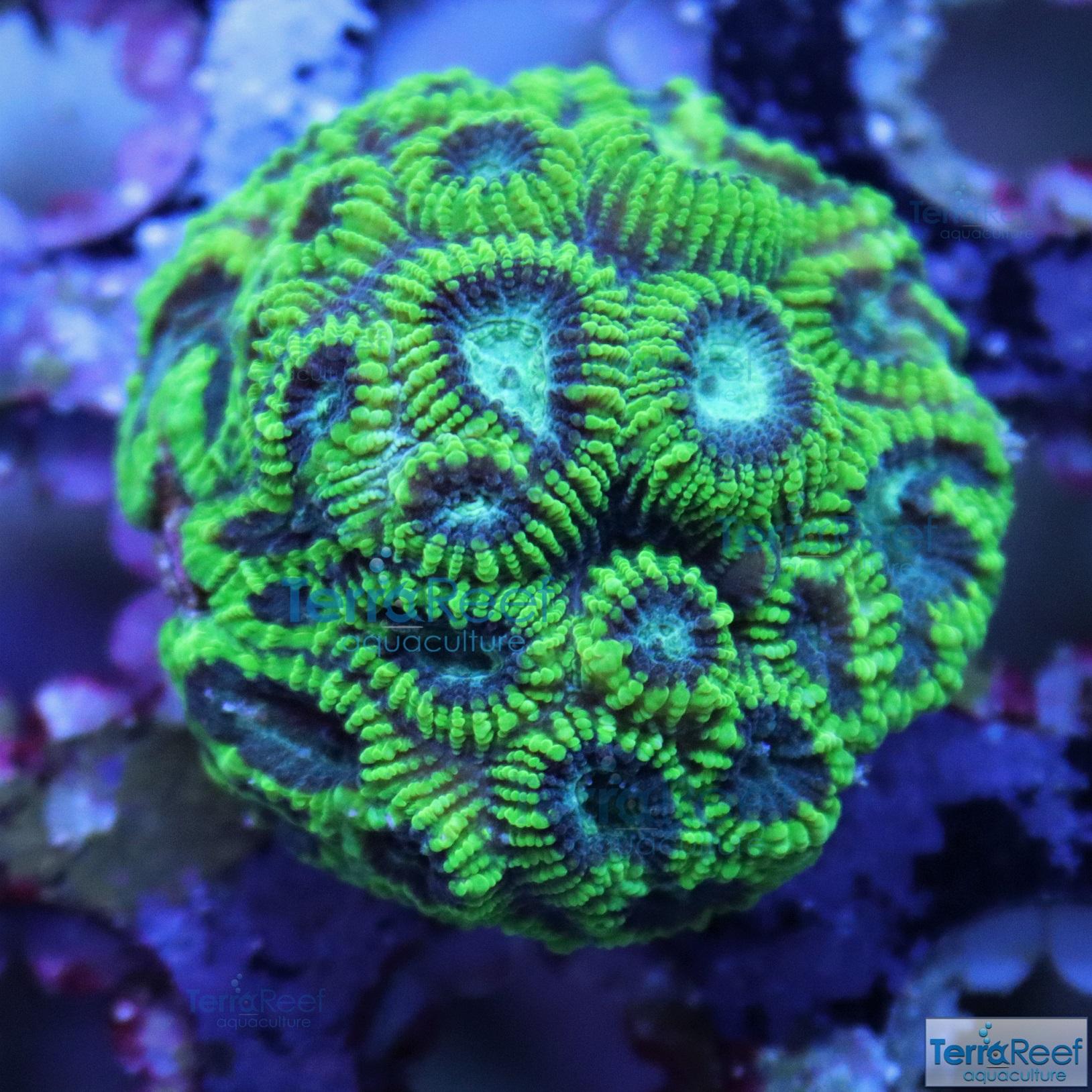 IMG_3172-Green-Favia-Brain-Coral-Frag-Small.jpg