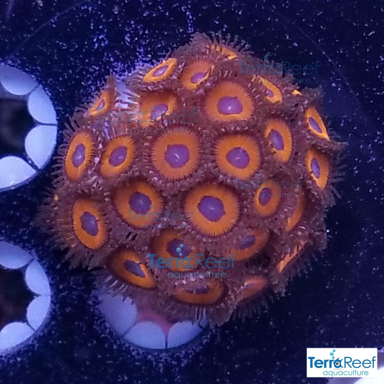 Red-Zoanthids-Coral-Polyps-WYSIWYG-Frag-3-20210113_010301.jpg