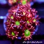 Holy Grail Goniopora MR1.jpg
