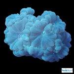 Green-Candy-Cane-Coral-WYSIWYG-Frag-3-black-20210122_230015.jpg