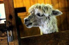 Baby alpaca.jpg