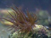 aiptasia-reefs.jpg