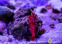 fire_shrimp_3_480x480.jpg