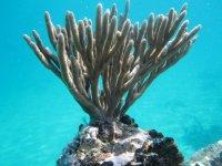 Gorgonian at San Blass.jpg